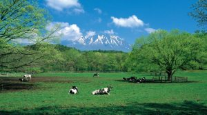 Iwate cows